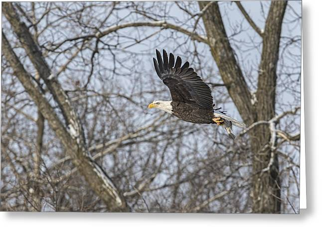 Wisconsin Fishing Greeting Cards - Adult American Bald Eagle  Greeting Card by Thomas Young