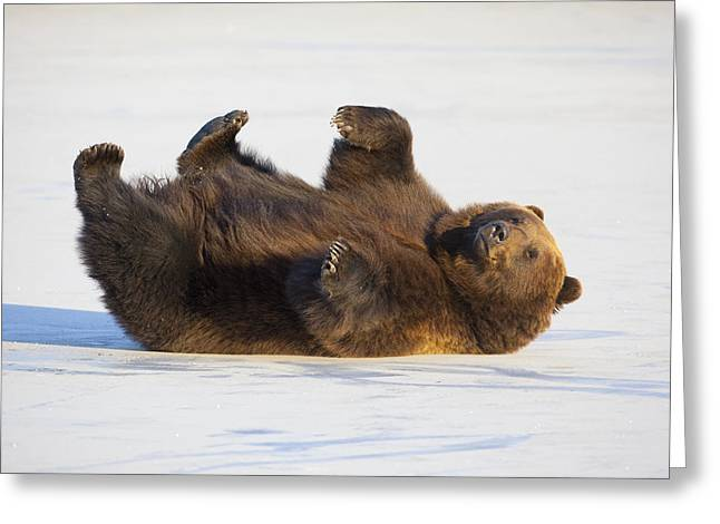 Cooling Off Greeting Cards - Adult Brown Bear Rolling On Its Back In Greeting Card by Doug Lindstrand
