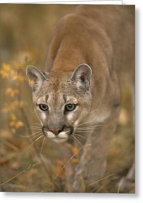 Predaceous Greeting Cards - Adult Cougar Greeting Card by Rebecca Grambo