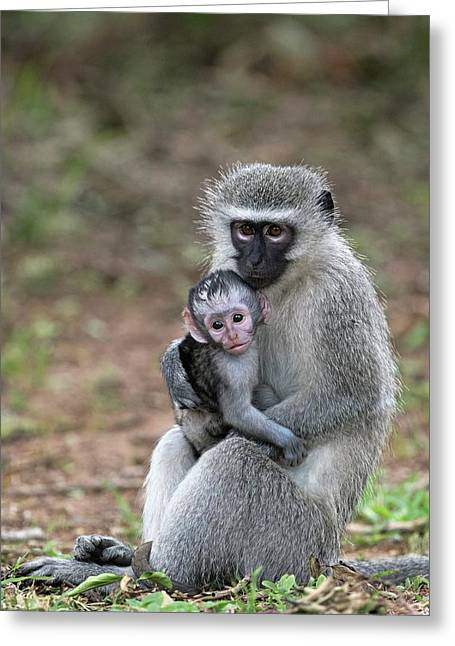 Adult Female Vervet Monkey With Young Greeting Card by Tony Camacho