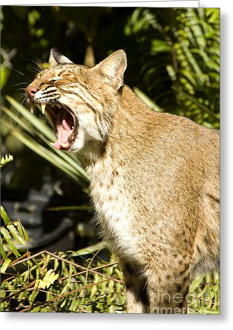 Bobcats Photographs Greeting Cards - Adult Florida Bobcat Greeting Card by Anne Rodkin