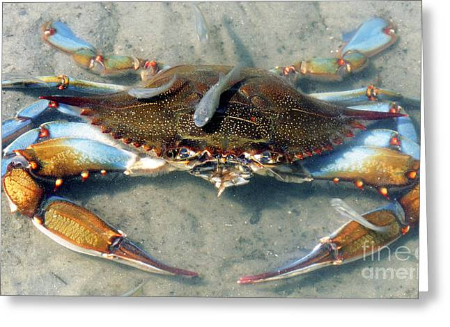 Swimmers Greeting Cards - Adult Male Blue Crab Greeting Card by Millard H. Sharp