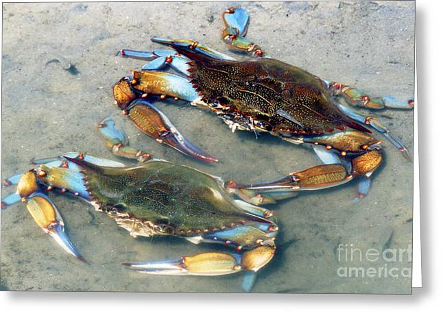 Callinectes Sapidus Greeting Cards - Adult Male Blue Crabs Greeting Card by Millard H. Sharp
