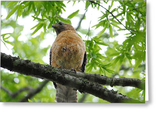 Red Shouldered Hawk Greeting Cards - Adult Red Shouldered Hawk Greeting Card by Jai Johnson