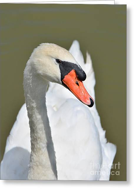 Swans... Greeting Cards - Adult White Swan Greeting Card by Kathy Baccari