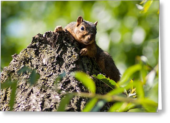 Eastern Fox Squirrel Greeting Cards - Advantage Point Greeting Card by Optical Playground By MP Ray