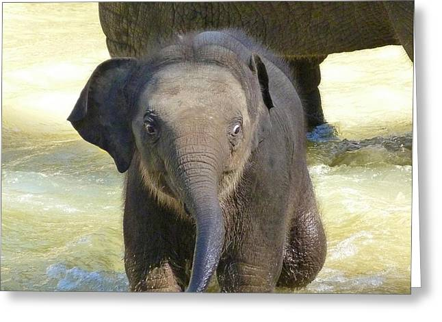 Saheed Greeting Cards - Adventurous Baby Asian Elephant  Greeting Card by Margaret Saheed