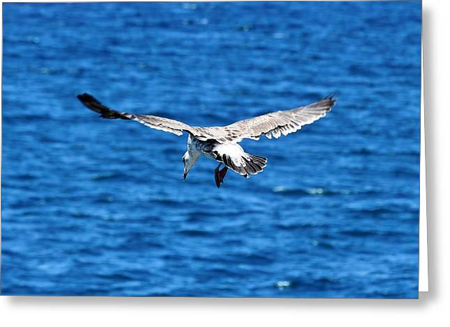 Aquatic Greeting Cards - Aerial Bird Greeting Card by Cathy Gibson