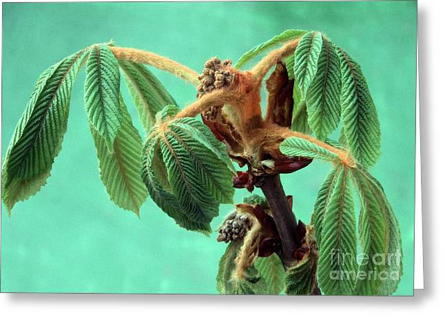 Unfurl Greeting Cards - Aesculus Hippocastanum Greeting Card by Archie Young