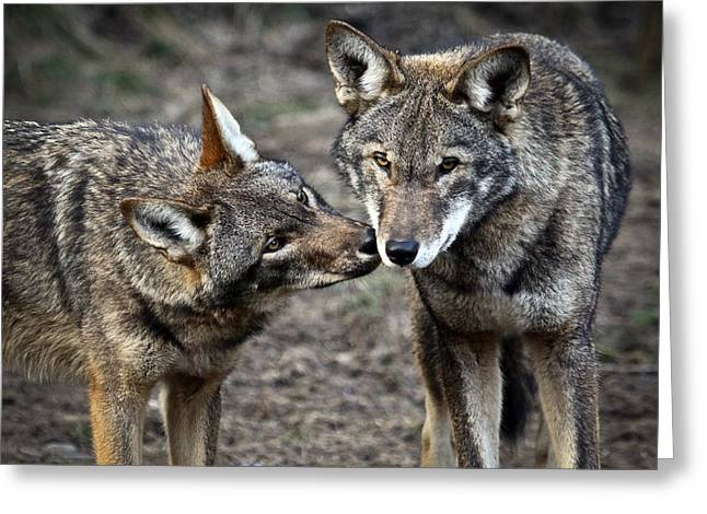 Preditor Photographs Greeting Cards - Affection Greeting Card by Steve McKinzie