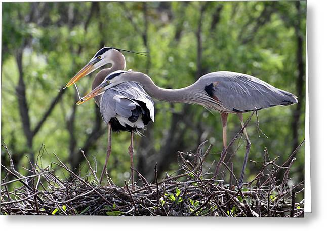 Delray Beach Greeting Cards - Affectionate Great Blue Heron Mates Greeting Card by Sabrina L Ryan