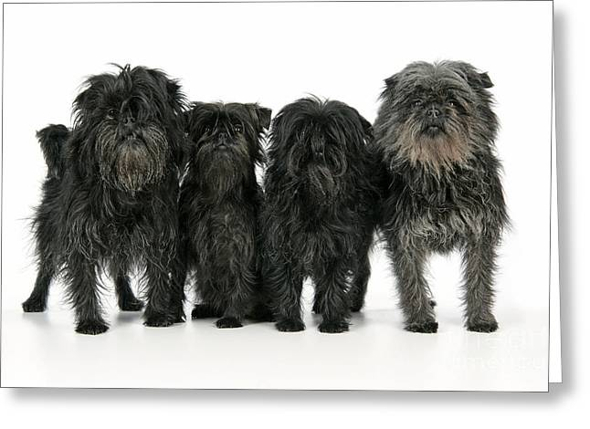Toy Dog Greeting Cards - Affenpinscher Dogs Greeting Card by John Daniels
