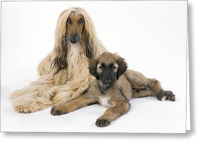 Two Hounds Greeting Cards - Afghan Hound And Puppy Dog Greeting Card by John Daniels