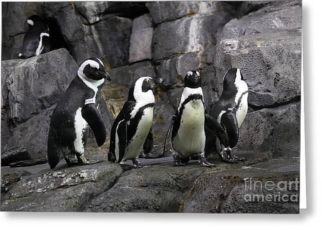 Tuxedo Greeting Cards - African Blackfooted Penguin 5D24863 Greeting Card by Wingsdomain Art and Photography
