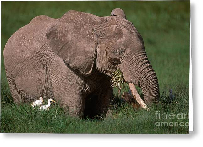 Bubulcus Ibis Greeting Cards - African Bush Elephant Greeting Card by Art Wolfe
