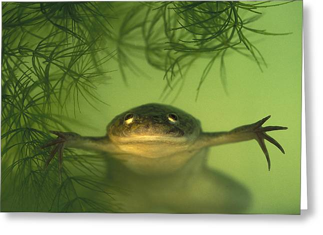 Recently Sold -  - Underwater Photos Greeting Cards - African Clawed Frog Greeting Card by Heidi & Hans-Juergen Koch