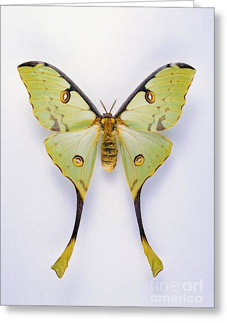 Silhouettable Greeting Cards - African Comet Moth Greeting Card by Barbara Strnadova