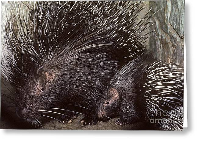 Captive Animals Greeting Cards - African Crested Porcupine Mother Greeting Card by Gregory G. Dimijian, M.D.