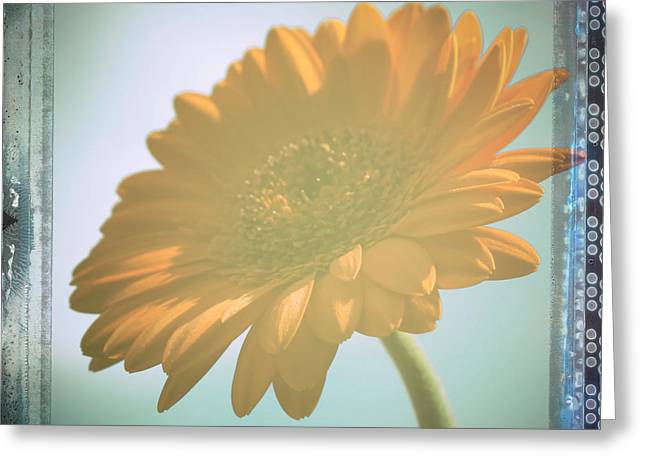 Barberton Daisy Greeting Cards - African Daisy Greeting Card by Nomad Art And  Design
