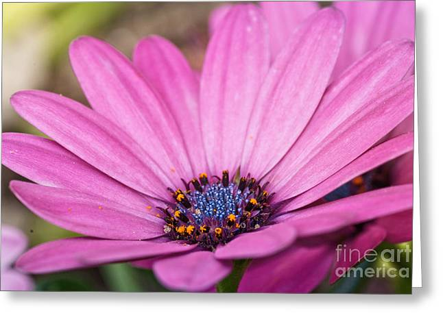 African Flower Greeting Cards - African Daisy  Greeting Card by Martin Capek