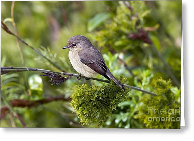 Cape Town Greeting Cards - African Dusky Flycatcher Greeting Card by Bob Gibbons