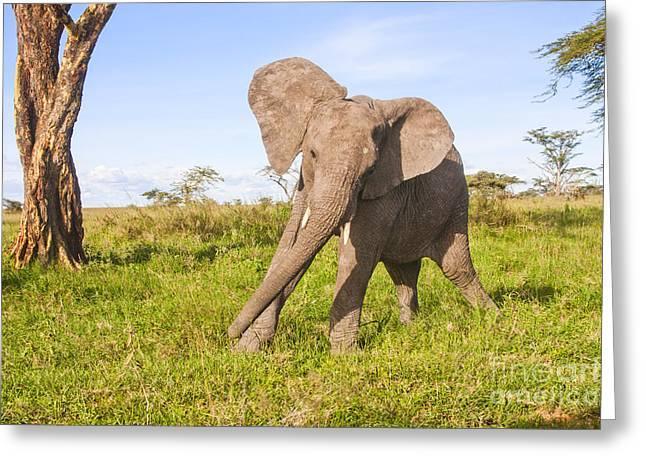 Bush Wildlife Greeting Cards - African elephant 1 Greeting Card by Eyal Bartov