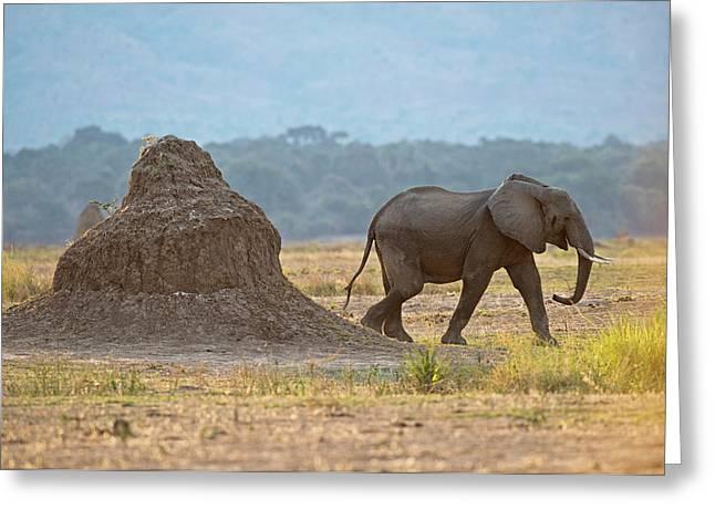 African Elephant Alongside Termite Mound Greeting Card by Tony Camacho