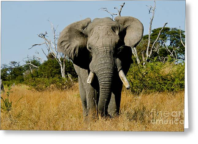 Aggressive Postures Greeting Cards - African Elephant Bull Greeting Card by Daryl & Sharna Balfour