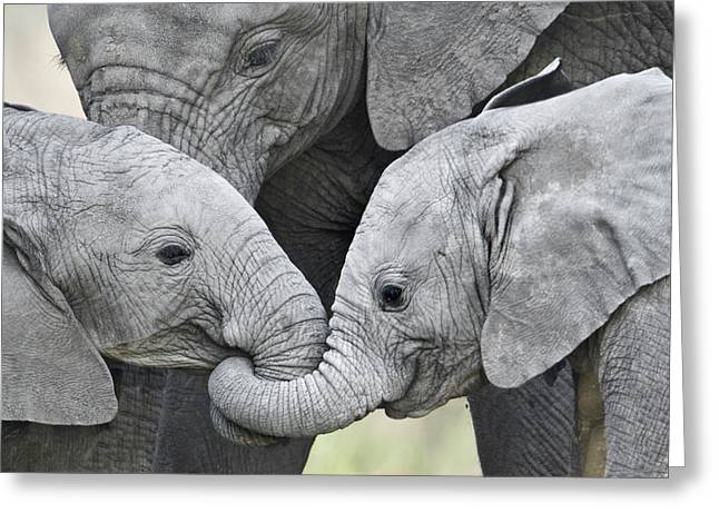 Hoofs Greeting Cards - African Elephant Calves Loxodonta Greeting Card by Panoramic Images