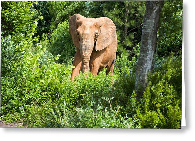 Animal Pics Greeting Cards - African Elephant coming through trees Greeting Card by Chris Flees