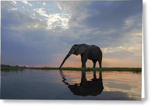African Elephant Drinking Chobe River Greeting Card by Vincent Grafhorst