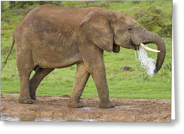 Addo Greeting Cards - African elephant drinking Greeting Card by Science Photo Library