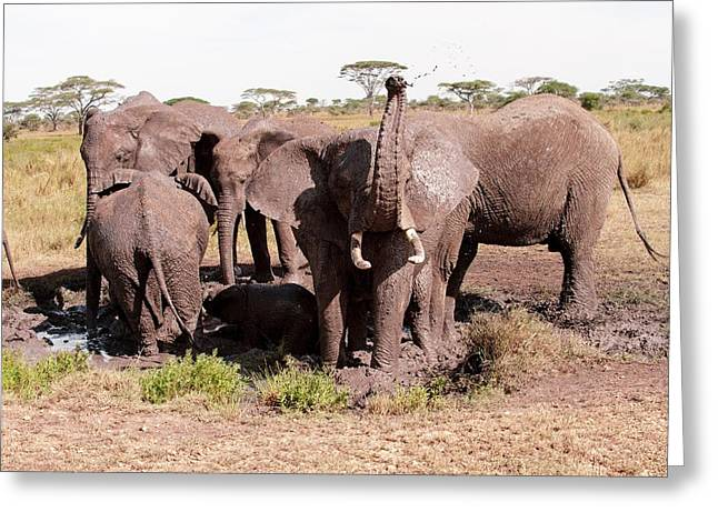 Social Herd Animals Greeting Cards - African elephant family at a mud bath Greeting Card by Science Photo Library