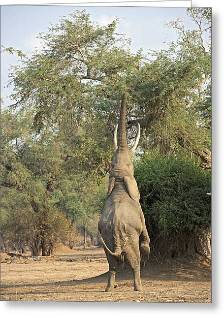 African Elephant Feeding From A Tree Greeting Card by Science Photo Library