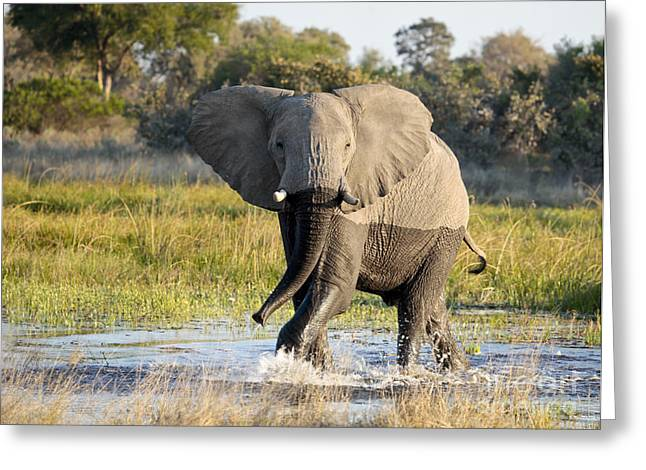 Africa Greeting Cards - African Elephant mock-charging Greeting Card by Liz Leyden