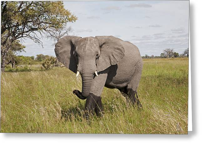 Aggressive Postures Greeting Cards - African Elephant Okavango Delta Botswana Greeting Card by Dickie Duckett