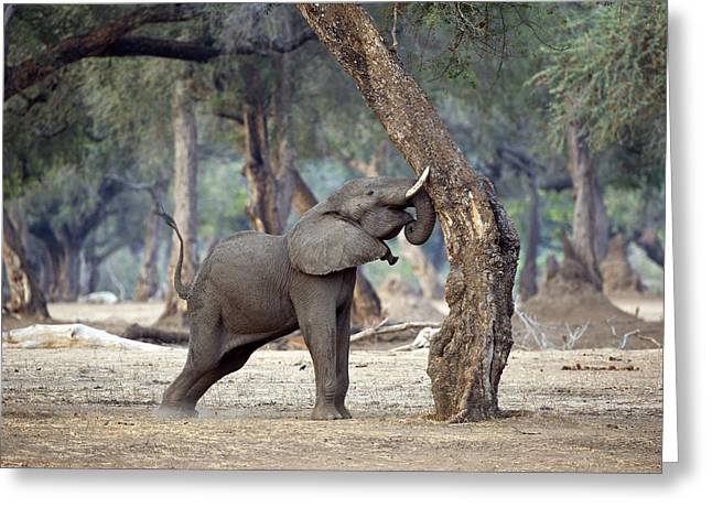 Zimbabwe Greeting Cards - African elephant shaking a tree Greeting Card by Science Photo Library