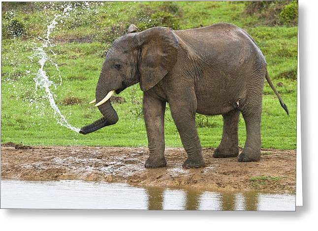 Biology Greeting Cards - African elephant spraying water Greeting Card by Science Photo Library