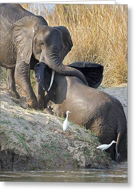 Zimbabwe Greeting Cards - African elephants at a watering hole Greeting Card by Science Photo Library