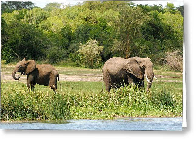 Geobob Greeting Cards - African Elephants Feeding Murchison Falls National Park Uganda Africa Greeting Card by Robert Ford