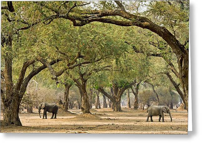 Zimbabwe Greeting Cards - African elephants foraging under trees Greeting Card by Science Photo Library