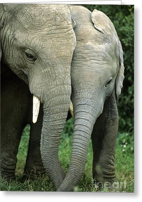 Addo Greeting Cards - African Elephants Greeting Card by Nigel J Dennis