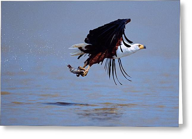 Animal Death Greeting Cards - African Fish Eagle Haliaeetus Vocifer Greeting Card by Panoramic Images