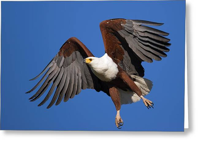 Airborne Greeting Cards - African Fish Eagle Greeting Card by Johan Swanepoel