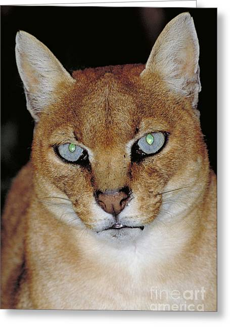 Disapprove Greeting Cards - African Golden Cat Felis Aurata Greeting Card by Art Wolfe