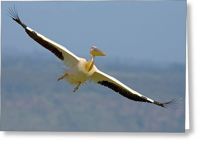 Flying White Pelicans Greeting Cards - African Great White Pelican Greeting Card by Panoramic Images