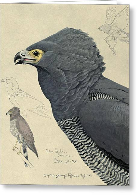 Eagle Drawing Greeting Cards - African Harrier-Hawk Greeting Card by Louis Agassiz Fuertes