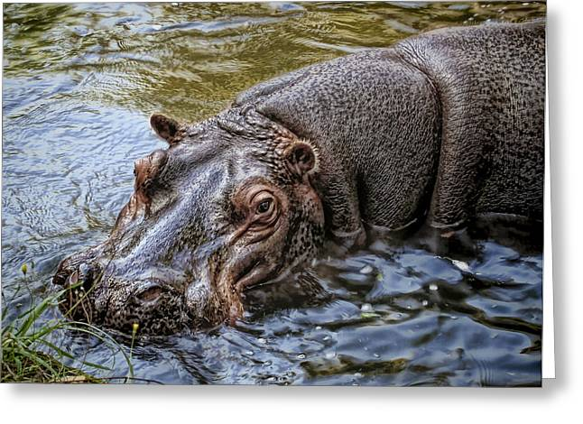The Fearful Greeting Cards - African Hippopotamus Greeting Card by Daniel Hagerman