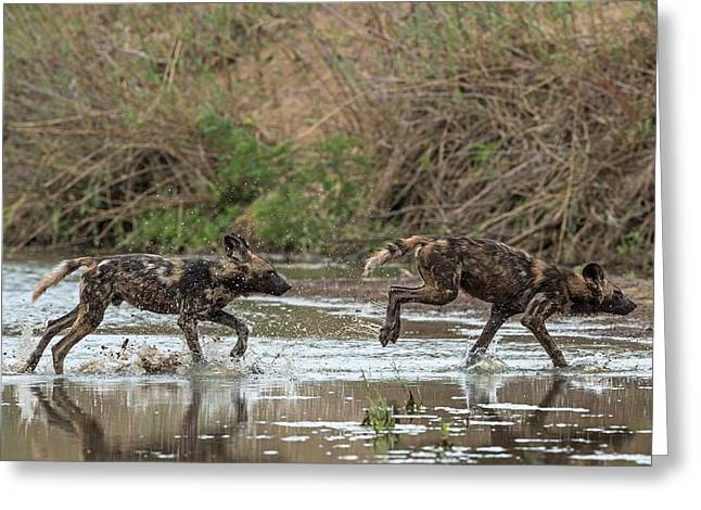 African Hunting Dog Pups At Play Greeting Card by Tony Camacho