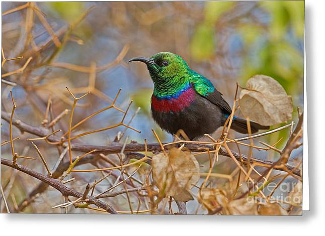 Sunbird Greeting Cards - African Iridescence Greeting Card by Ashley Vincent